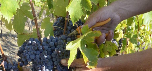 Vendemmia in Val d'Orcia