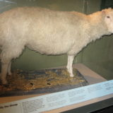 Dolly come si presenta oggi al National Museum of Scotland di Edinburgo